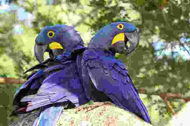 Macaws not practising social distancing in the Brazilian Pantanal (Shutterstock)