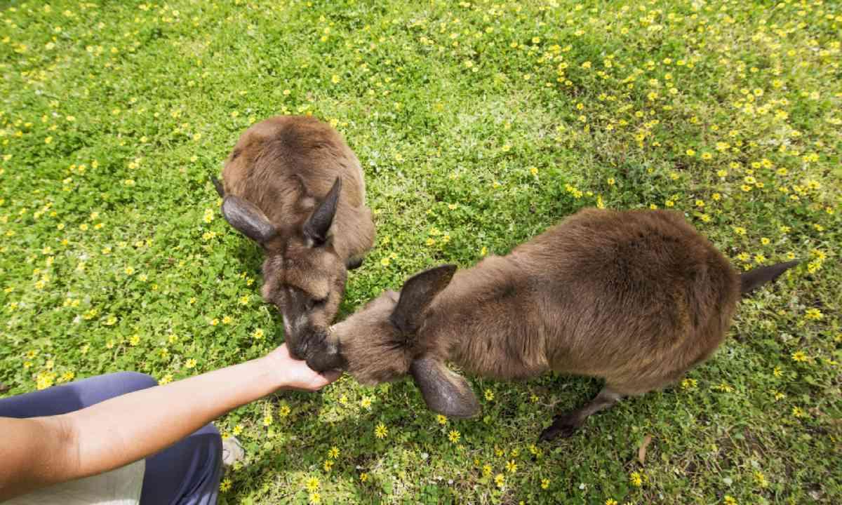 Kangaroos (SATC)