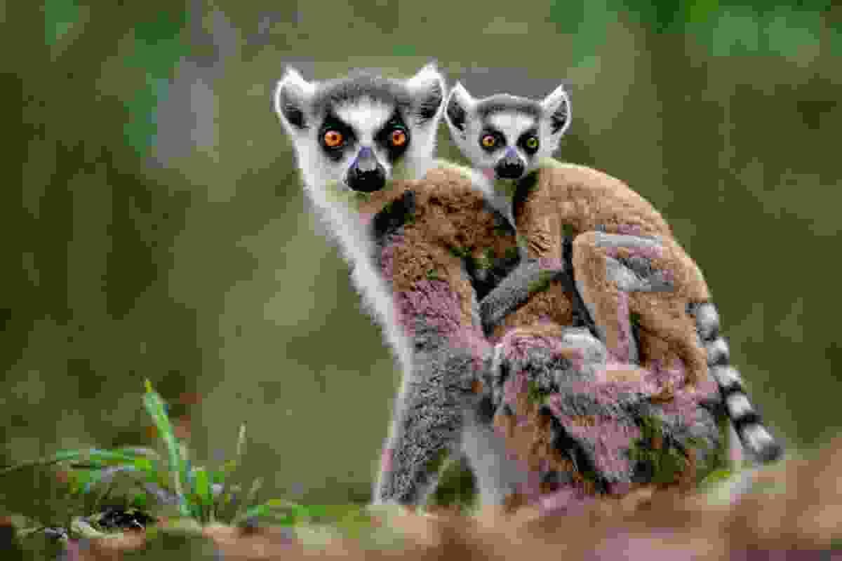 Ring Tailed Lemurs, Madagascar (Frans Lanting)