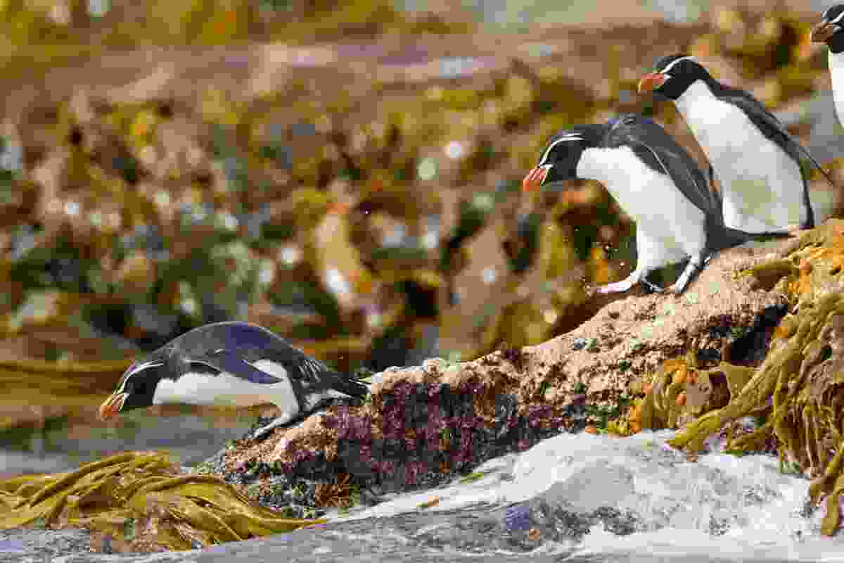 Snares crested penguins on Snares Island, one of the subantarctic islands in New Zealand (Shutterstock)