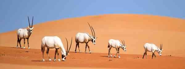 Arabian oryx. (Shutterstock)