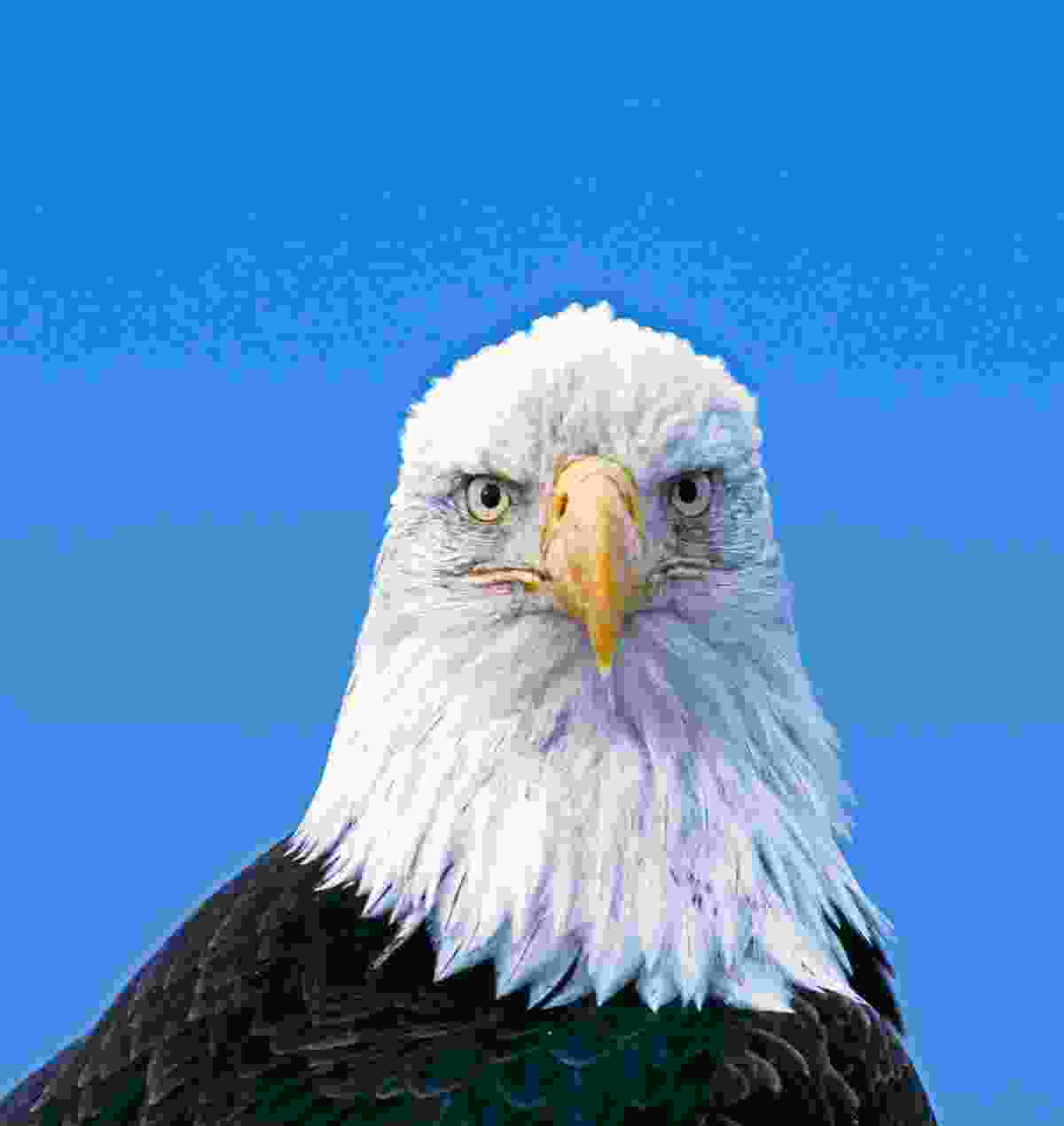 Few creatures are more emblematic than the bald eagle, known worldwide as the national bird of the United States (David Tipling)