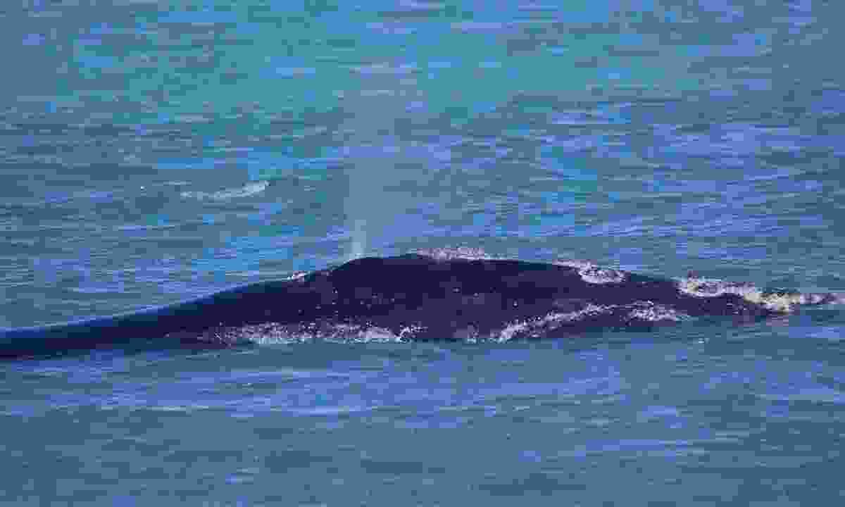 A North Atlantic right whale (Dreamstime)