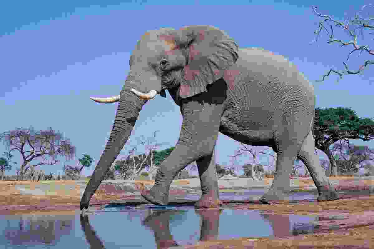 African elephant at water hole, Chobe NP, Botswana (Frans Lanting)