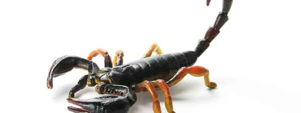 Scorpion (Dreamstime)