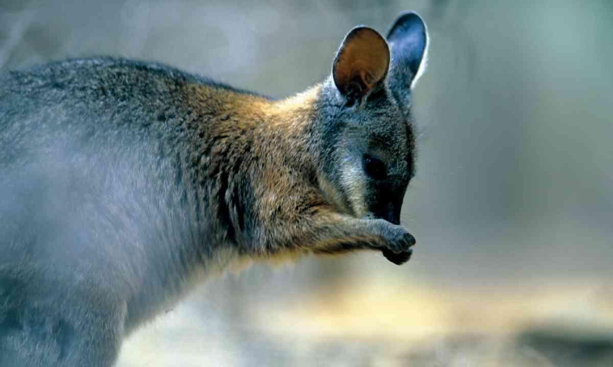 Tammar wallaby (SATC)