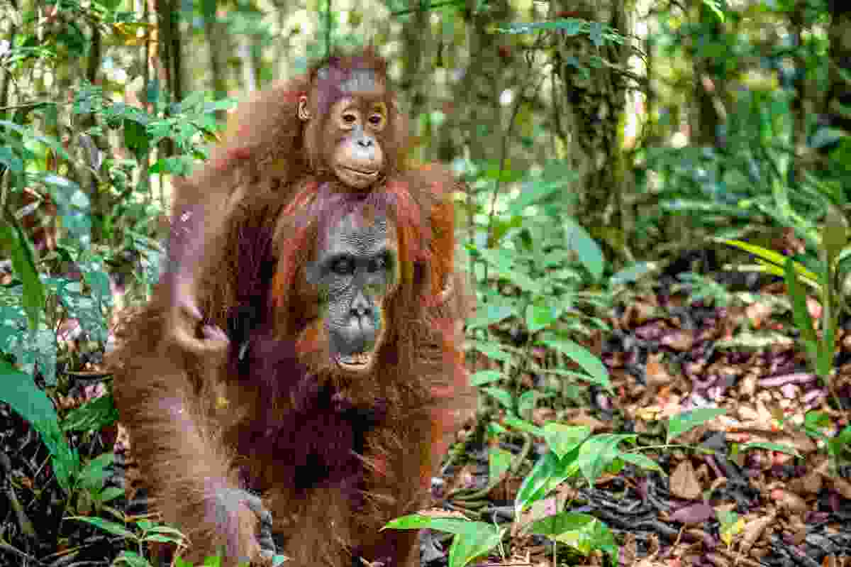 Baby orangutan on its mother's back, in Malaysian Borneo (Shutterstock)