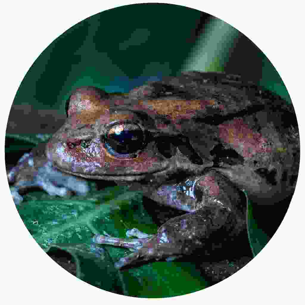 Listen to the night chorus of frogs