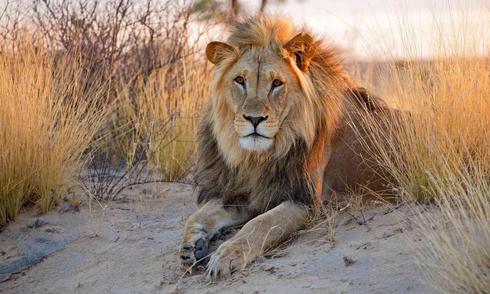 Lion in the Kalahari (Shutterstock.com)