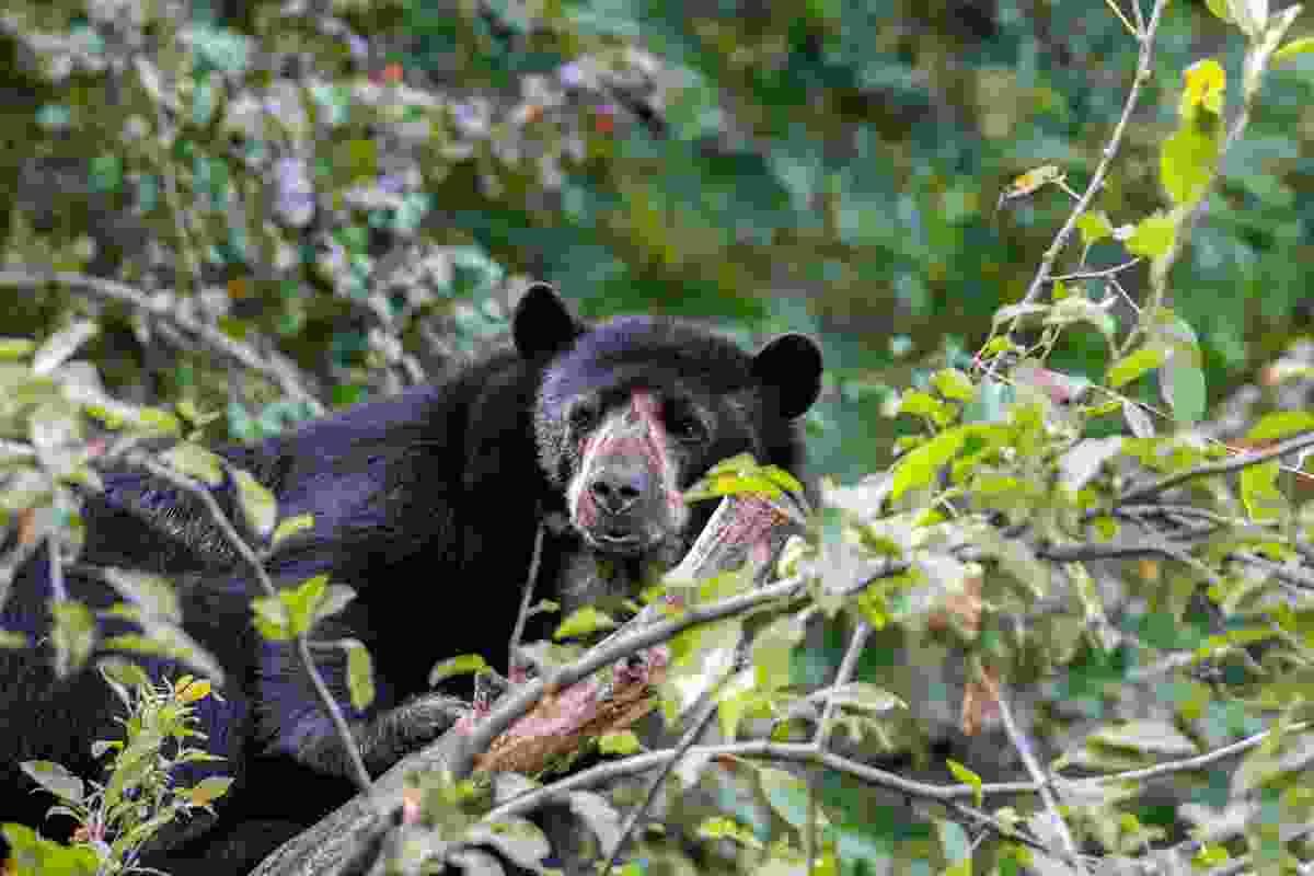 A spectacled bear (Shutterstock)