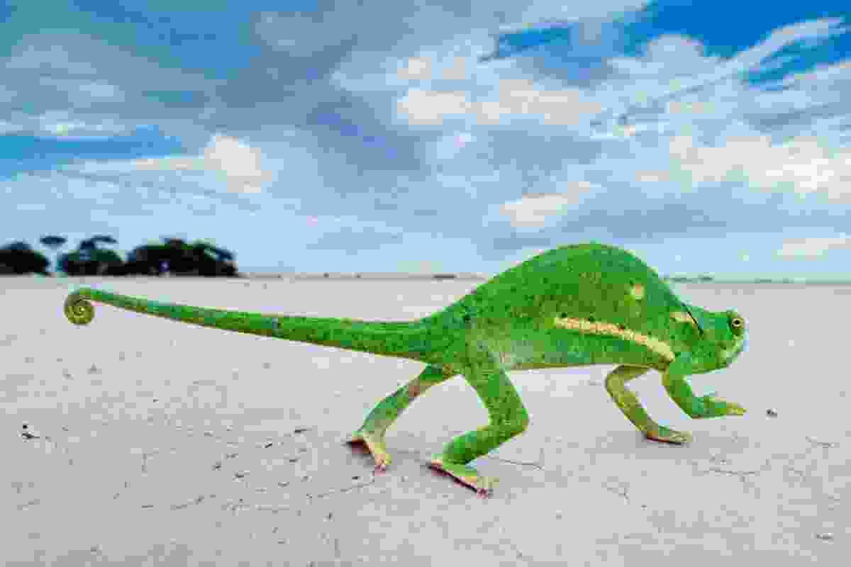 Flap-necked Chameleon, Makgadikgadi Pans, Botswana (Frans Lanting)
