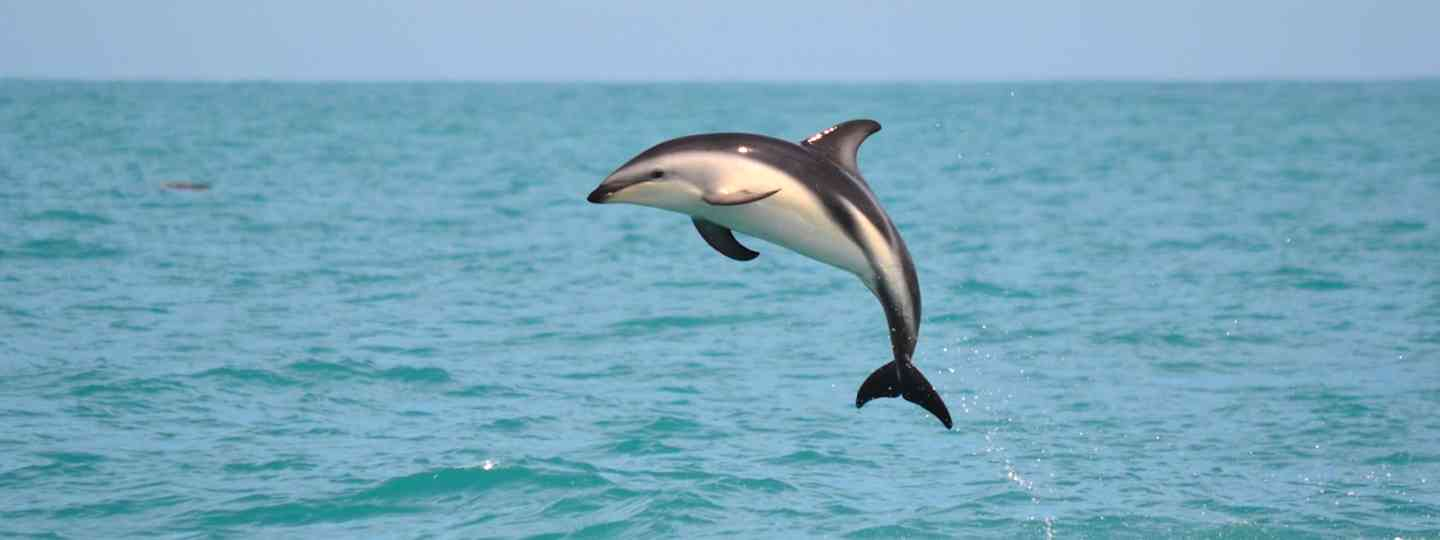 Dolphin in Kaikoura, New Zealand (Dreamstime)