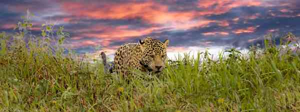 Wild jaguar in the Pantanal. (Shutterstock)