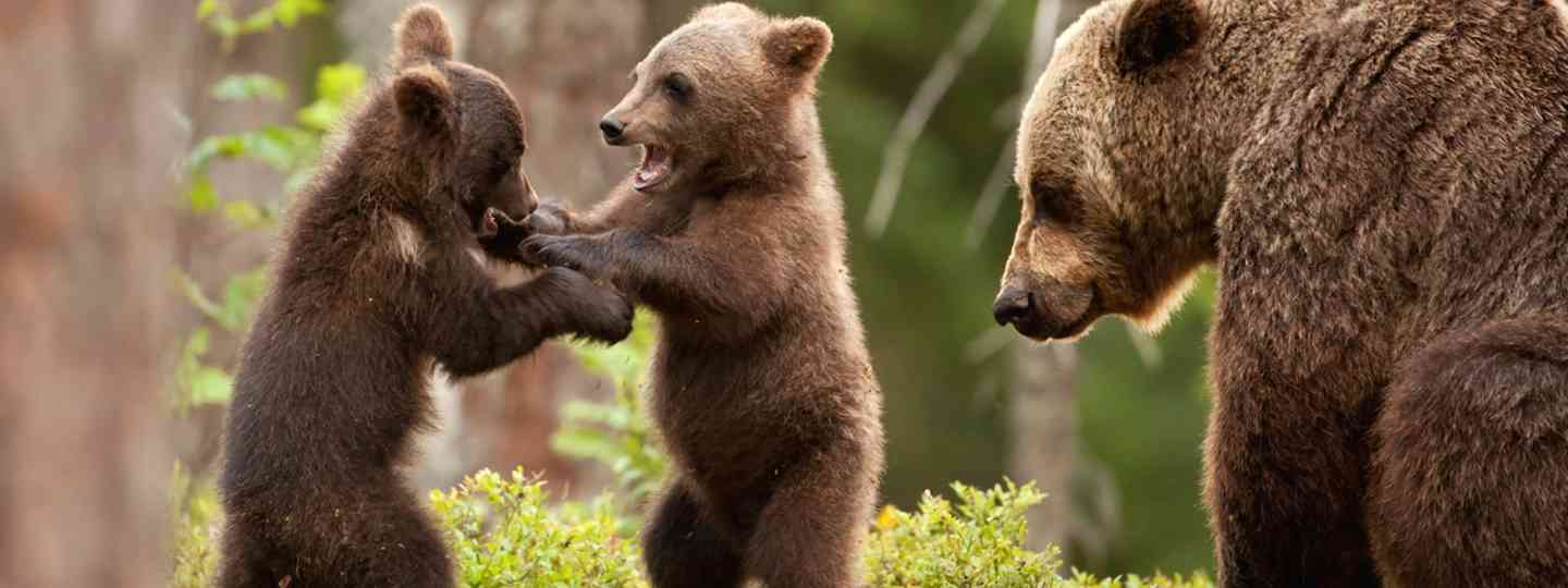 Brown bears playing in Finland (Dreamstime)