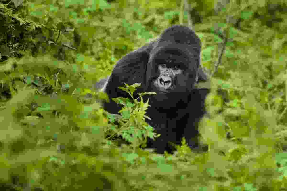 Silverback gorilla, Rwanda (Frans Lanting)