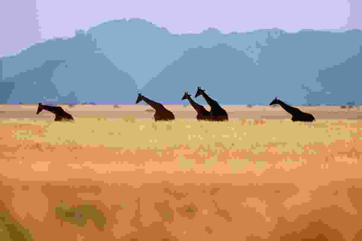 Giraffes in Namib-Naukluft NP, Namibia (Frans Lanting)