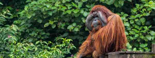 Meet the orangutans of Matang on your next wildlife conservation trip (Shutterstock)