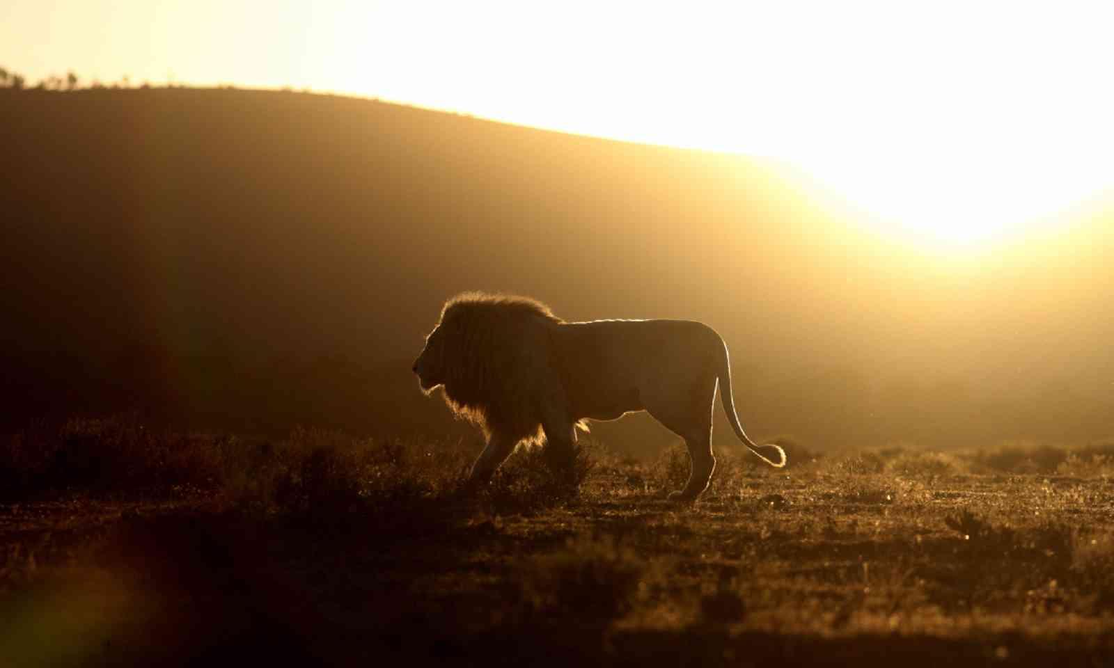 Silhouette of a male lion (Shutterstock)