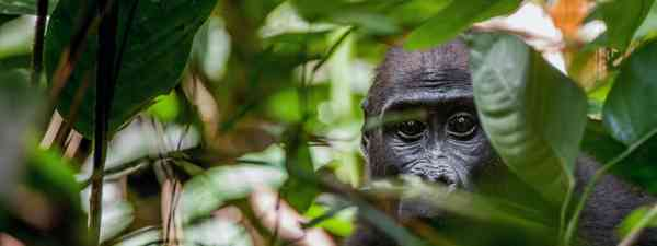 A lowland gorilla in the Congo rainforest (Shutterstock)