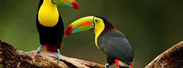 Toucan (Shutterstock)