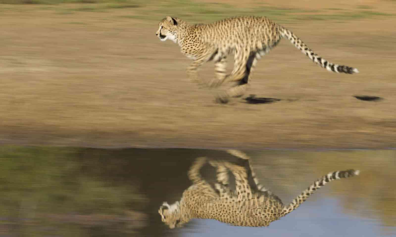 Cheetah running (Shutterstock)