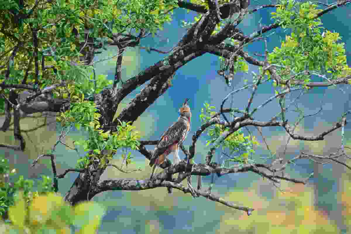 The changeable hawk-eagle is a typical woodland species, finding prey both among the trees and in the surrounding open country (Prisma by Dukas Presseagentur GmbH/Alamy Stock Photo)