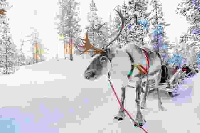 Finnish reindeer ready to sleigh! (Shutterstock)