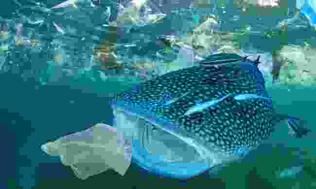 Whale Shark filter feeds in polluted ocean (Shutterstock)