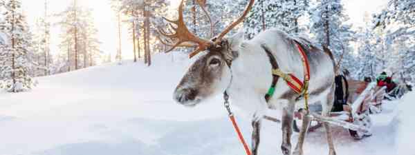 Finnish Lapland reindeer ready for sledding (Shutterstock)
