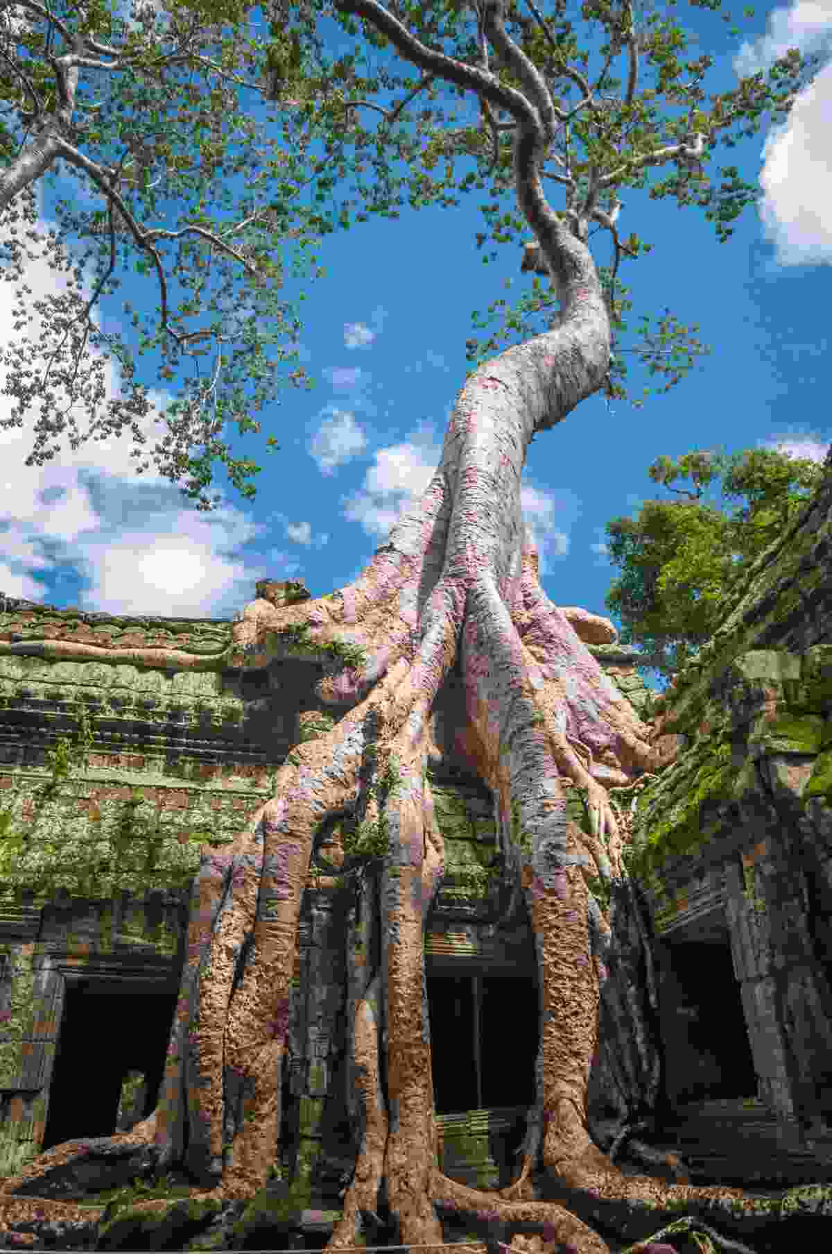 the incredible tentacle-like tree roots of Ta Prohm (Shutterstock)