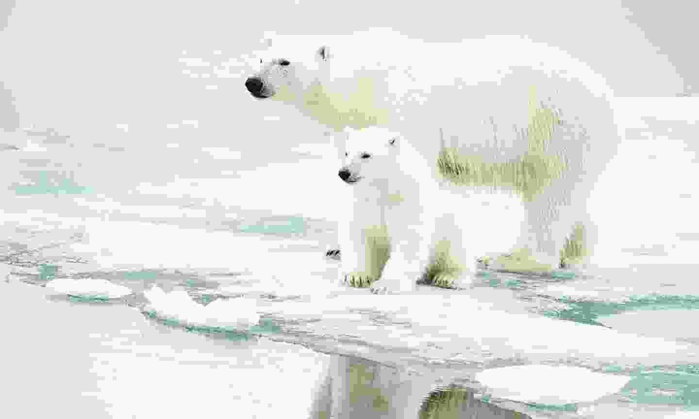 Polar bears stranded on melting ice (Shutterstock)