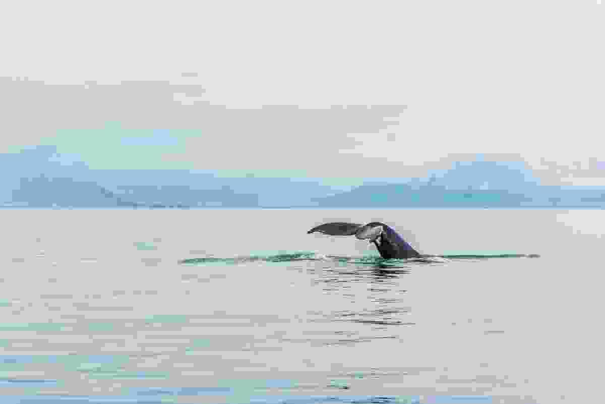 A humpback whale swims near Reykjavik, Iceland (Shutterstock)
