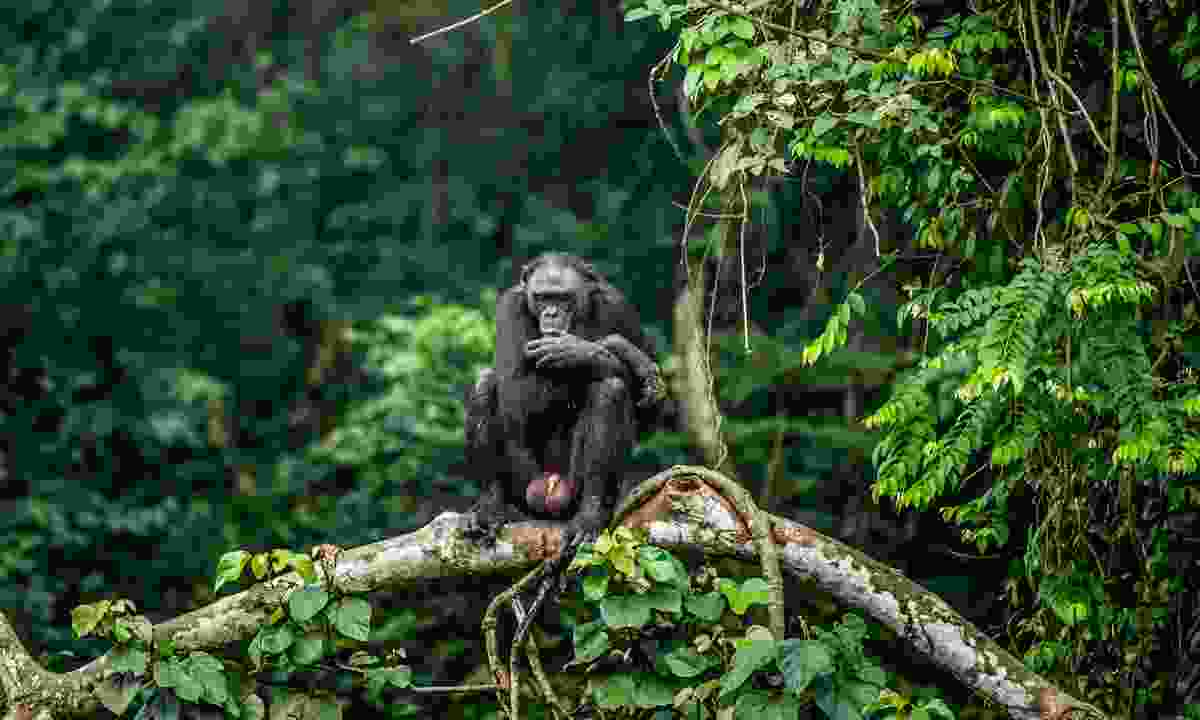 A Bonobo in the Congo (Shutterstock)