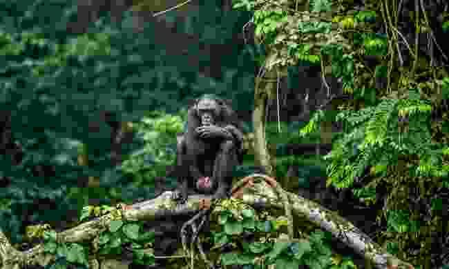A Bonobo in the Congo (Shutterstock)
