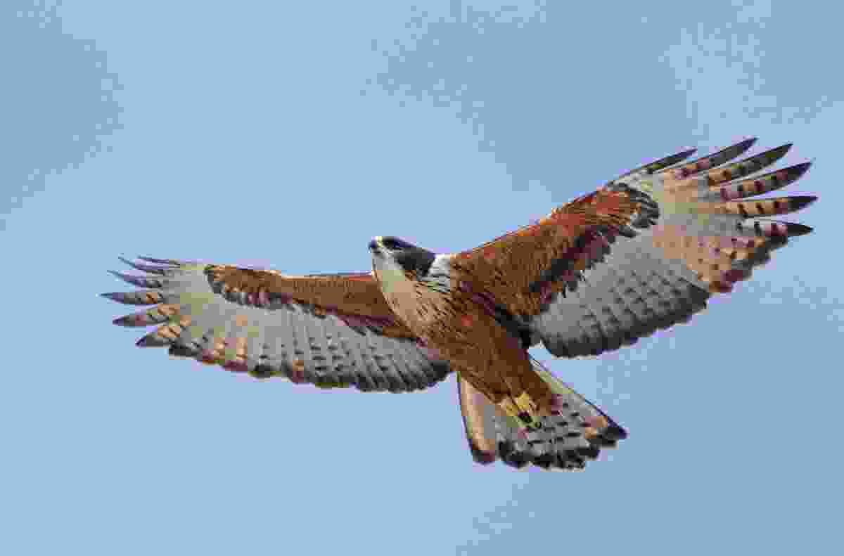 Like the peregrine falcon, which its face resembles, the rufous-bellied hawk-eagle often captures prey in fast aerial pursuit (Minden Pictures/Alamy Stock Photo)
