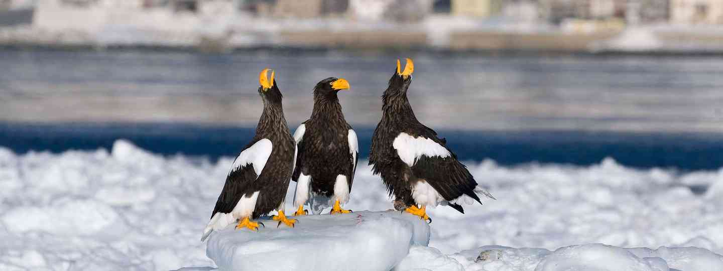 Two adult Steller's sea-eagles raise their heads to utter their deep cackling call, while a third looks on (David Tipling)
