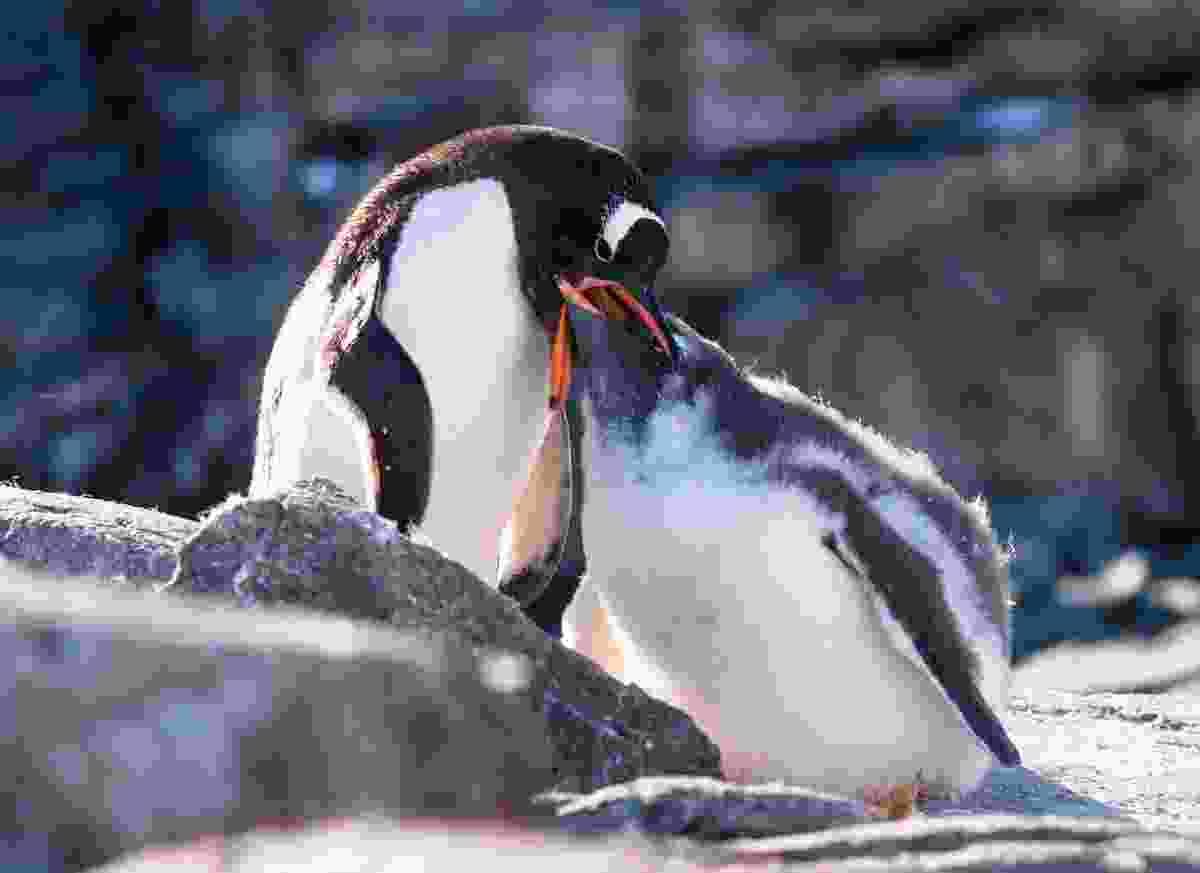 Dinner time for the penguins (Alesha Bradford)