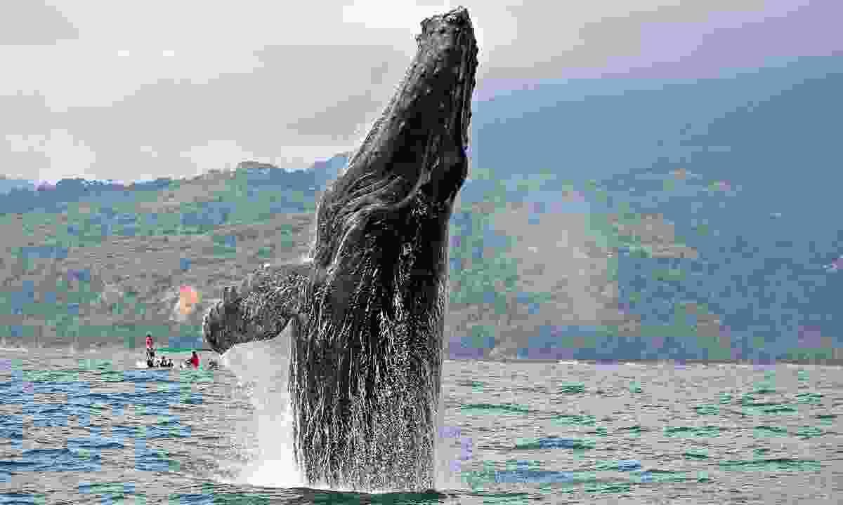 Humpback whale breaching in Marino Ballena National Park (Shutterstock)