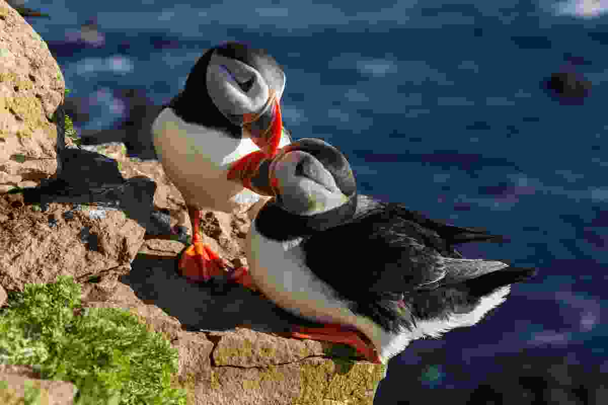 Puffins also congregate on the rocks of Latrabjarg, Iceland, one of Europe's best-know bird cliffs (Shutterstock)