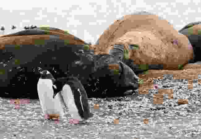 Elephant seals and penguins (Alesha Bradford)
