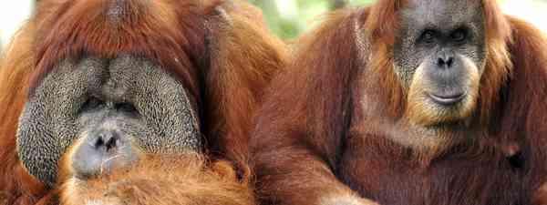 Orangutans in Sumatra, Indonesia (Dreamstime)