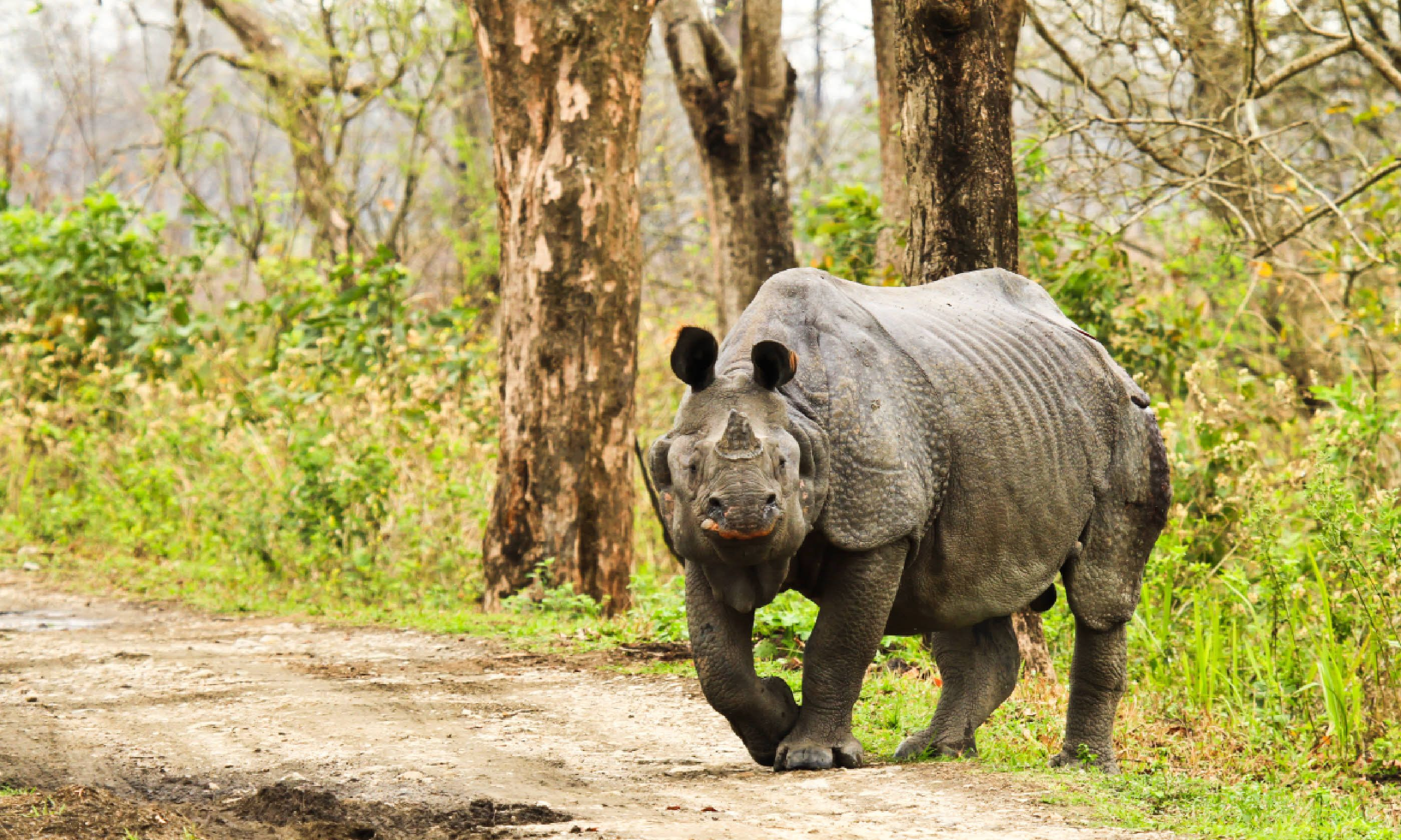 Rhinoceros in Kaziranga National Park (Shutterstock)
