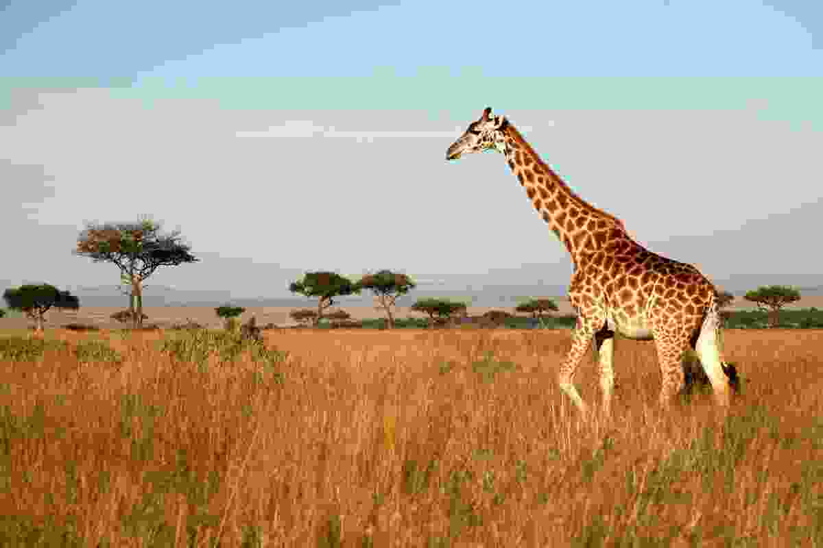 Giraffes in Kenya (Dreamstime)