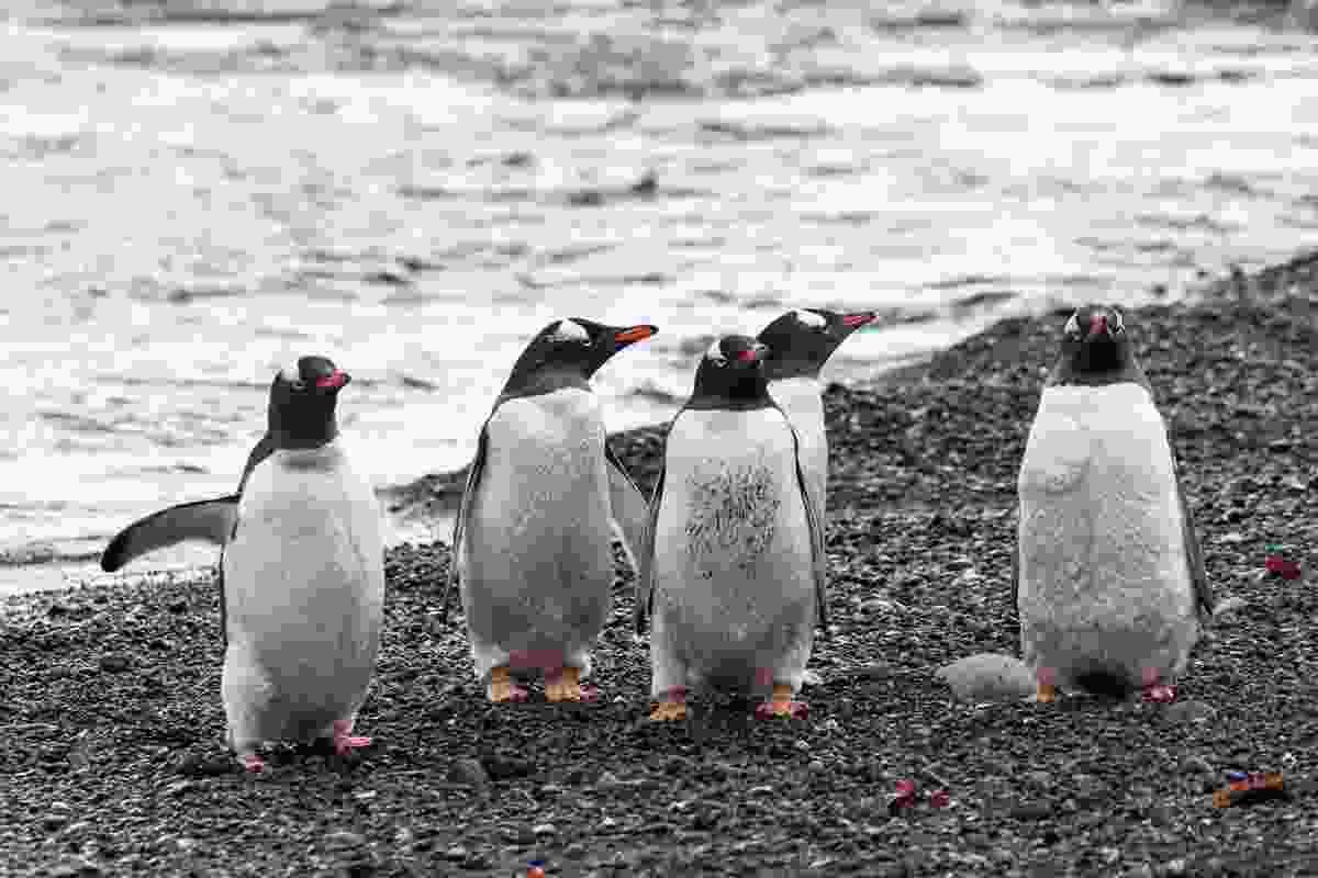 Group of penguins (Alesha Bradford)