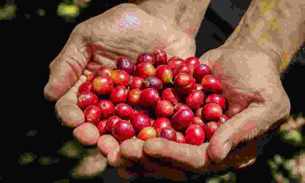 Coffee bean plantation (Shutterstock)