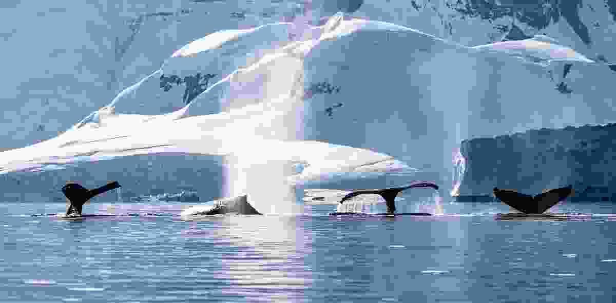Four whale tails (Jarryd Salem )