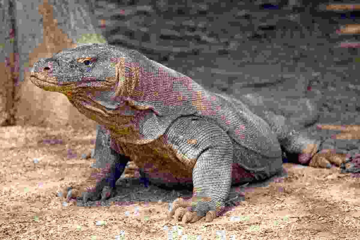 A Komodo Dragon, the world's largest lizard, on Komodo Island (Dreamstime)