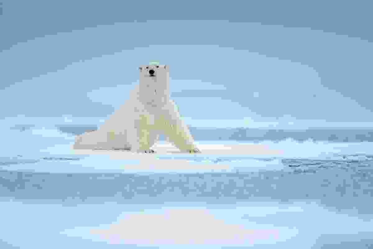 A polar bear adrift in Svalbard, Norway (Dreamstime)