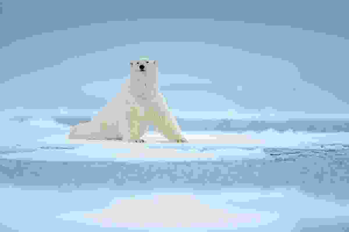A polar bear adrift in Svalbard, Norway (Dreamstime)