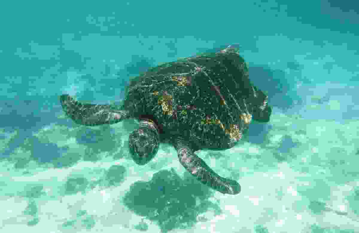 A green turtle swimming around the Galapagos Islands (Dreamstime)